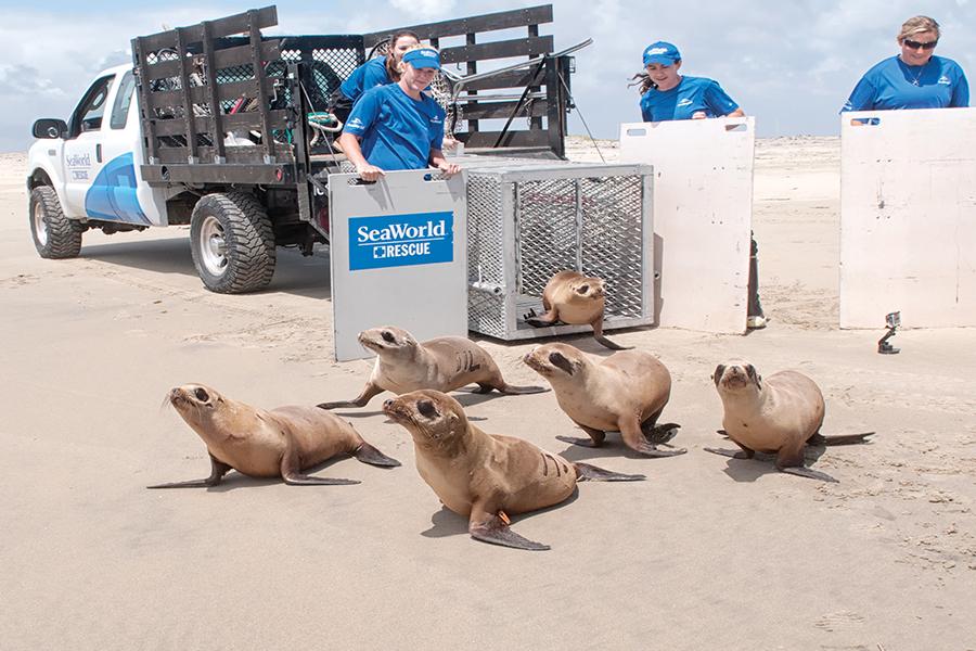 reintegrando a su hábitat a leones marinos