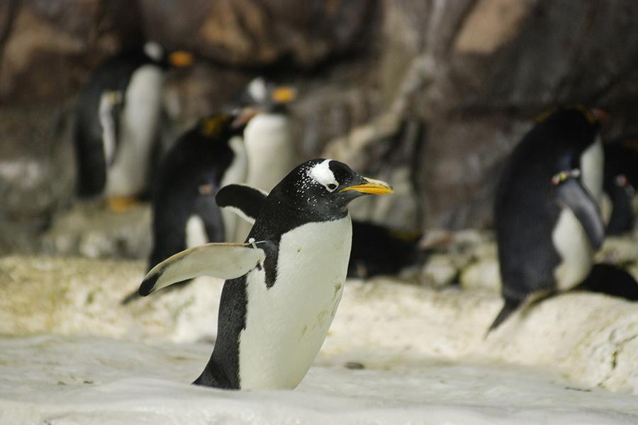 Entrenamiento de pingüinos